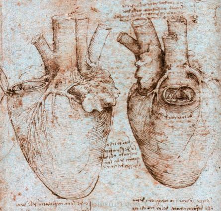 Cardiac anatomy - Leonardo da Vinci