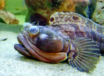 Sarcastic fringehead fish - Before