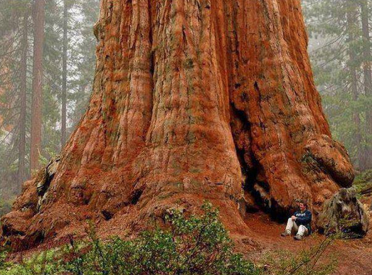 General Sherman - giant sequoia tree (CA, USA)